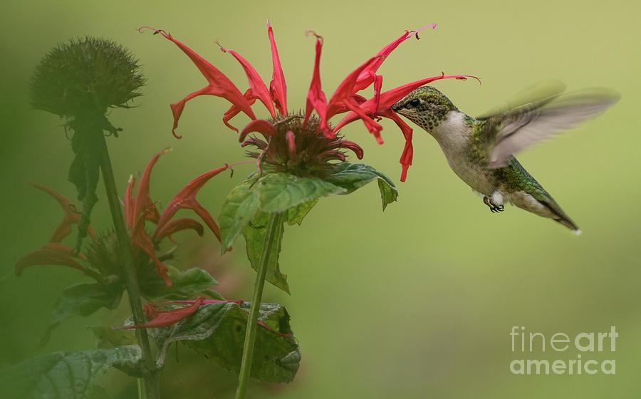Bee balm and Hummingbird Photograph by Heather Hubbard
