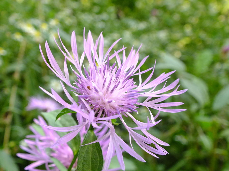 Bee Balm by Peggy King