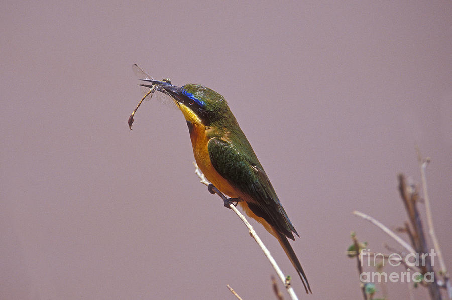African Birds Photograph - Bee Eater And Dragonfly by Sandra Bronstein