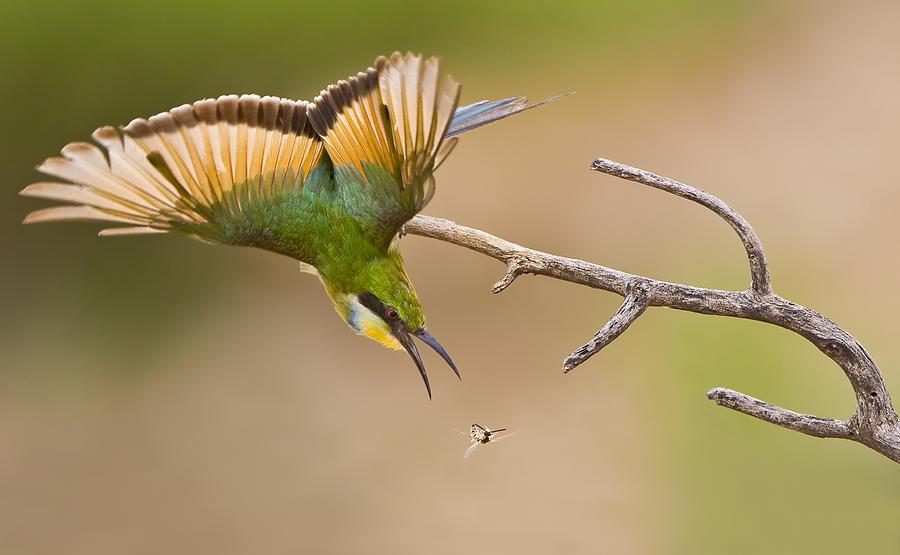 Bird Photograph - Bee-eater by Basie Van Zyl