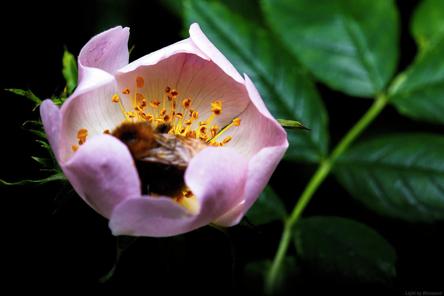 Macrophotography Photograph - Bee Feast by Lucas Mazzeo