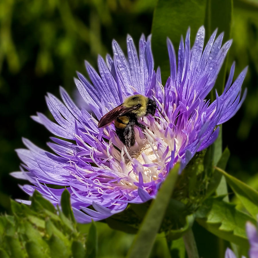 Bee Feeding in Purple Flower by Don Keisling