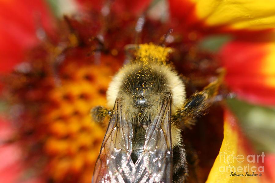 Bee Photograph - Bee Five - by Silvana Siudut