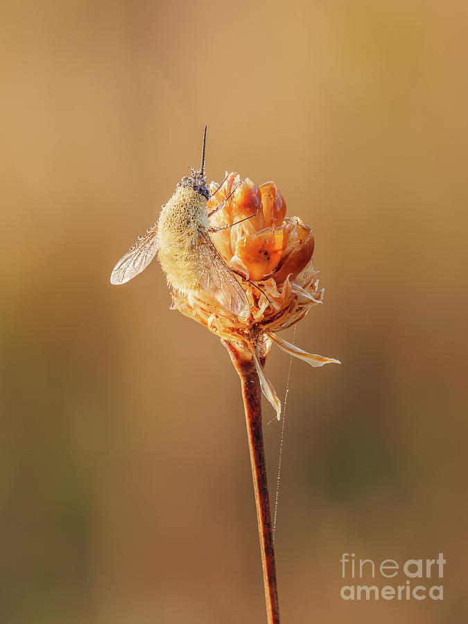 Animalia Photograph - Bee Fly I by Clarence Holmes