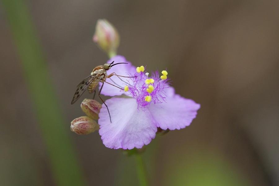 Bee Fly On Roseling Photograph