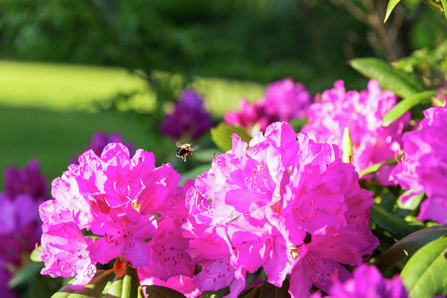 Bee Flying Over Catawba Rhododendron by D K Wall