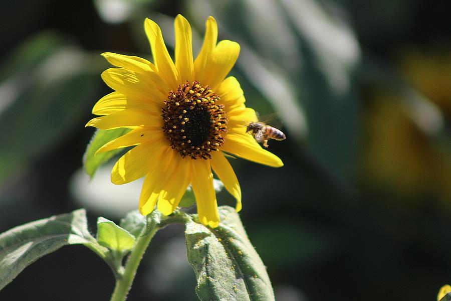 Sunflower Photograph - Bee Flying To Bright Lemon Yellow Wild Sunflower In High California Sun by Colleen Cornelius
