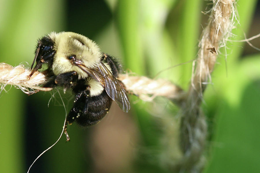 Bumble Bee Photograph - Bee Hanging onto Twine Glistening in Sunlight After Working by Bonnie Boden