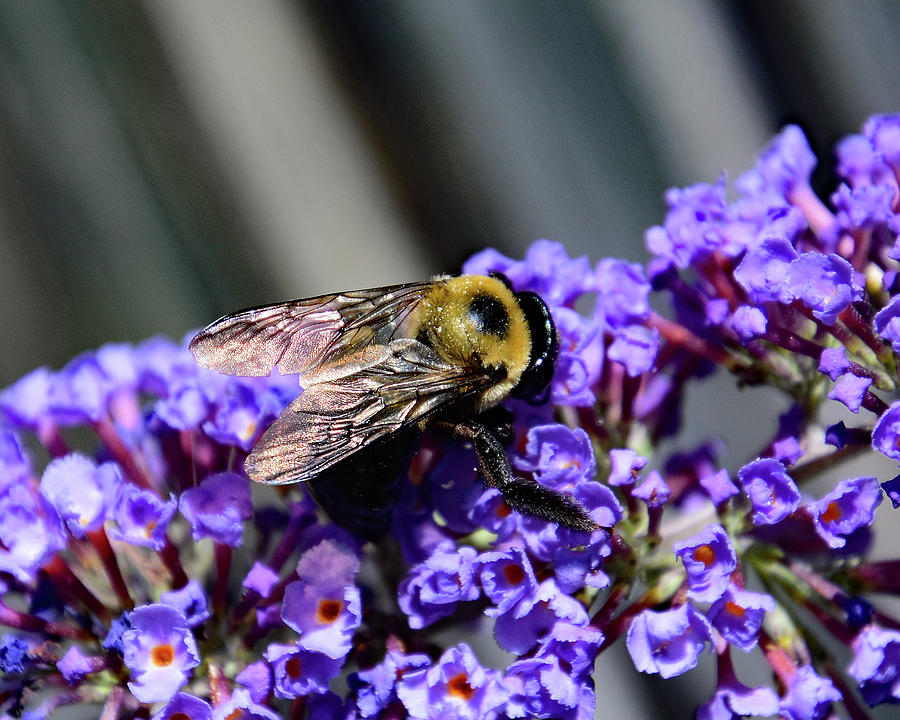 Bee in Butterfly Bush by Ann Keisling