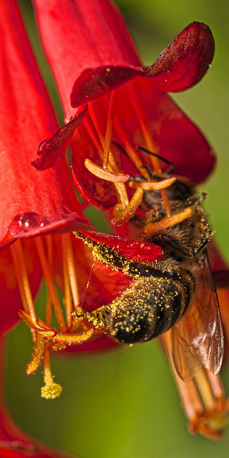 Macro Photograph - Bee in Flower by Roberto Aloi