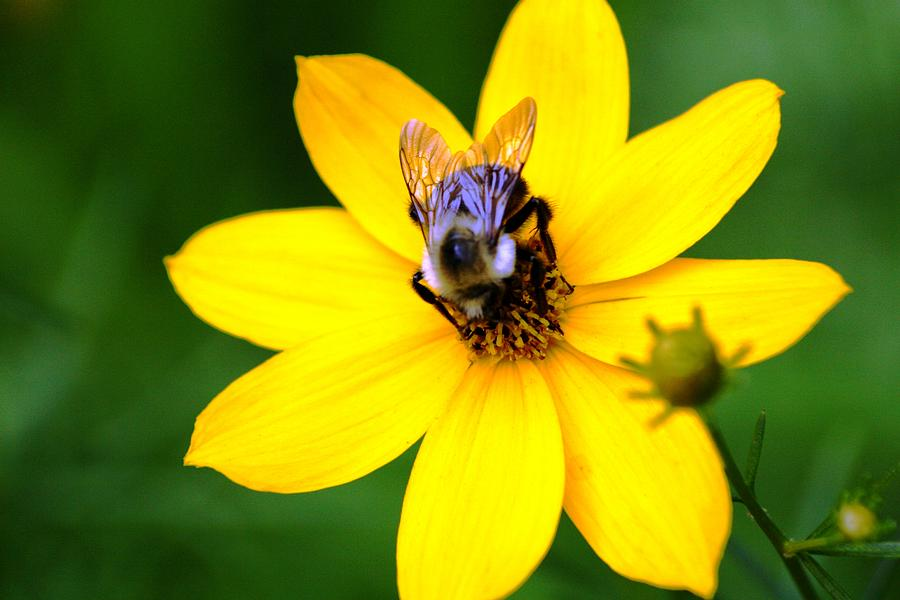 Nature Photograph - Bee In The Flower  by Paul SEQUENCE Ferguson             sequence dot net