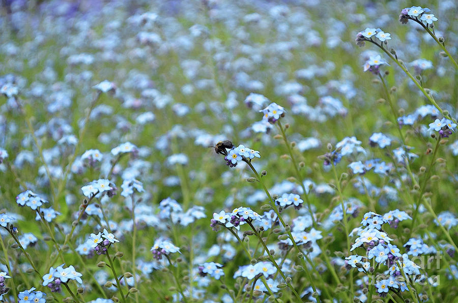 Bee In The Midst Of Blue Digital Art