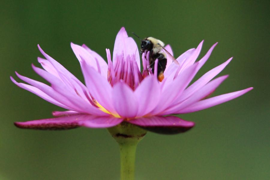 Bee Inside A Lotus Flower Photograph By Paulette Thomas