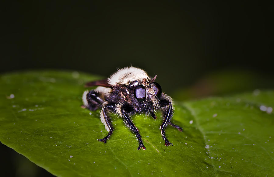 Insects Photograph - Bee Killer Fly by Michael Whitaker