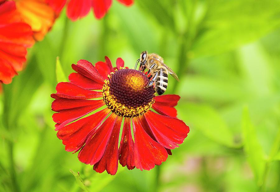 Bee Photograph - Bee by Konstantin Bibikov