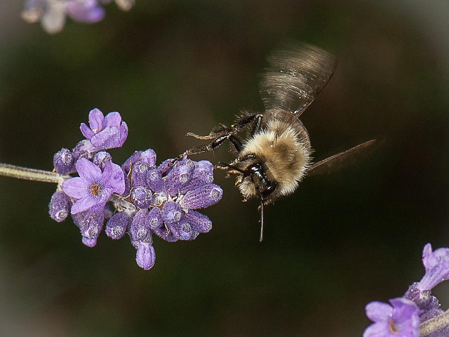 Bee landing on lavender by Len Romanick