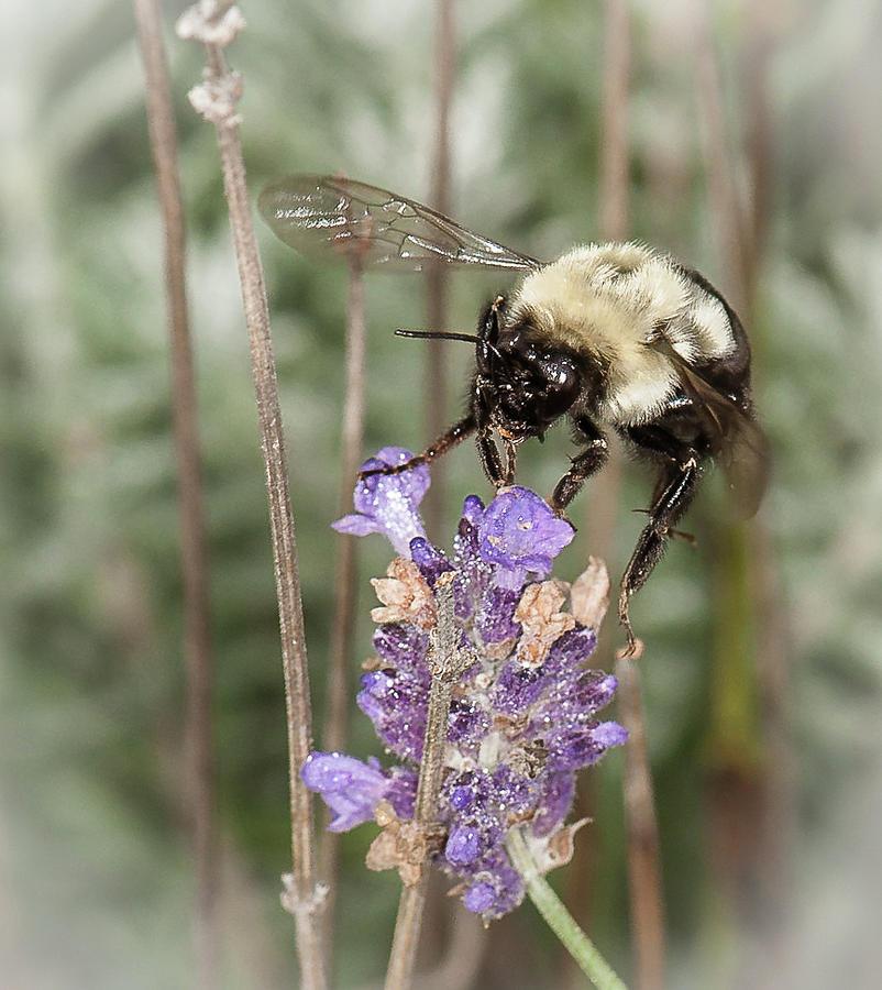 Bee lands on lavender by Len Romanick