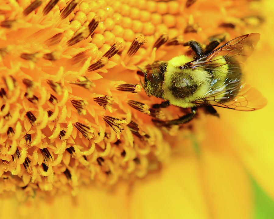 Bee Photograph - Bee on a Flower by Mitford Fontaine