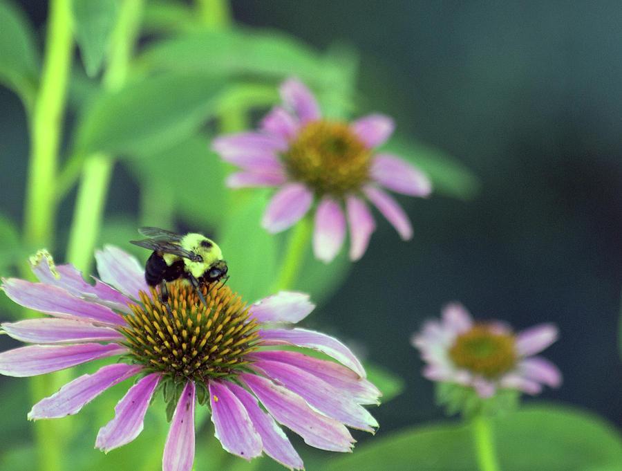 Bee on a Purple Coneflower by Karen Kuykendall