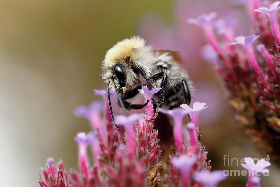 Bee on a Verbena Bonariensis by Nick Biemans