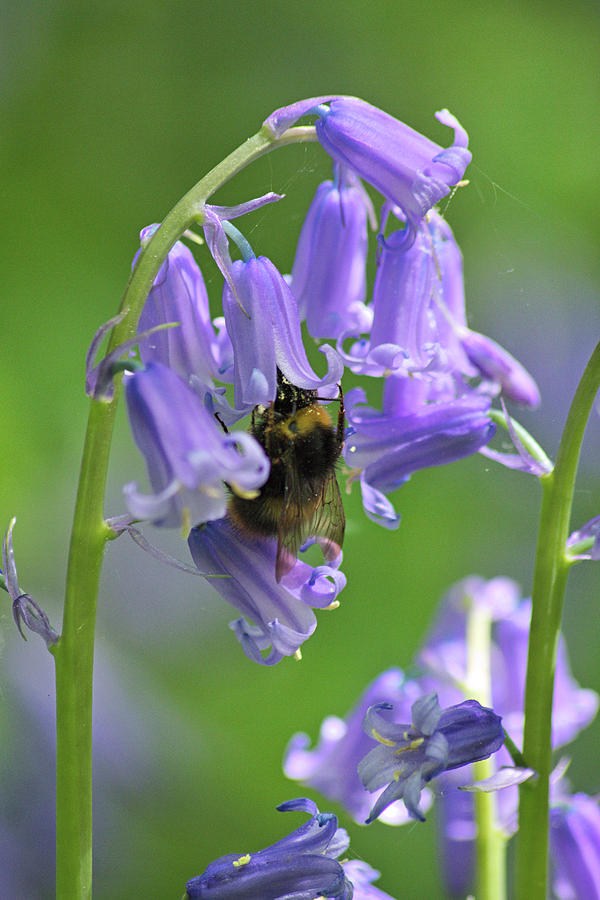 Bluebell Photograph - Bee On Bluebell by Tony Serzin