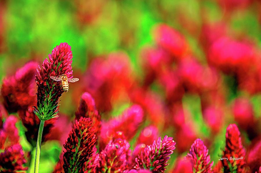 Bee On Clover Cr Photograph