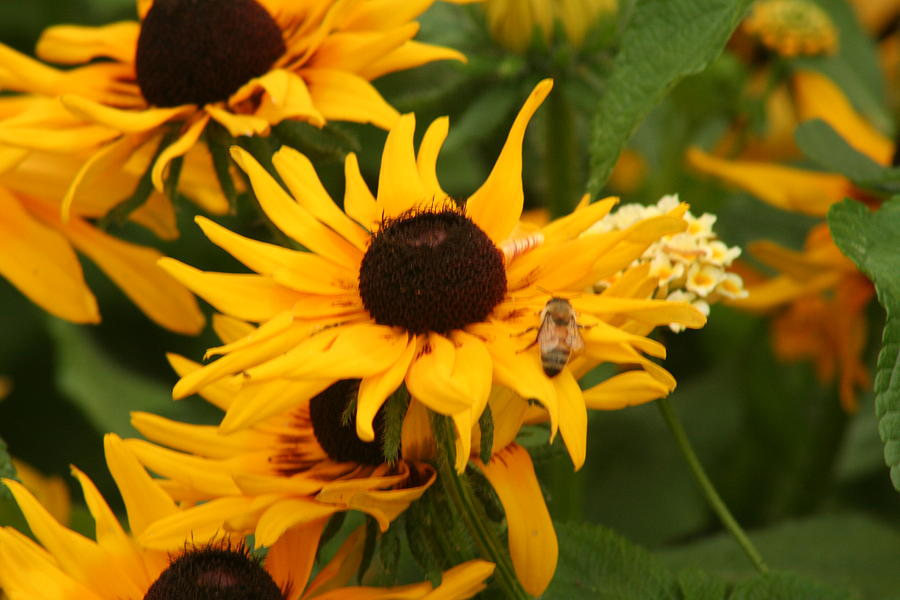 Bee Photograph - Bee On Daisy by Eric Irion