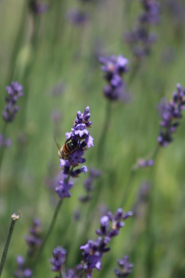 Deep Purple Photograph - Bee on Deep Purple Lavender Spike by Colleen Cornelius