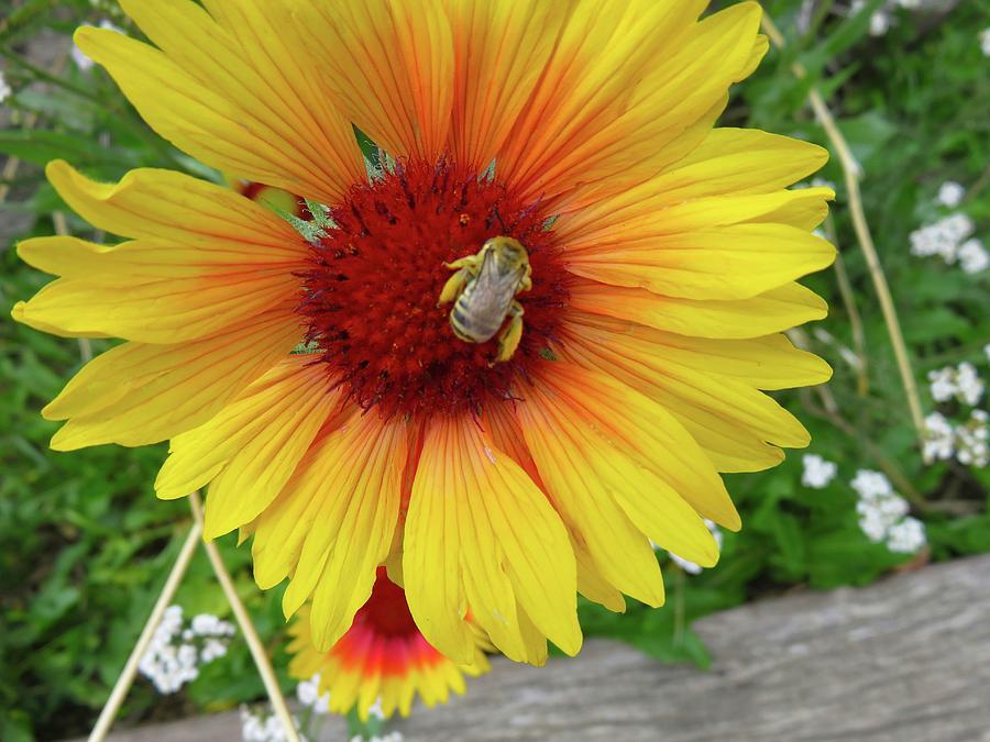 Bee on Giant Gaillardia by Judith Lauter