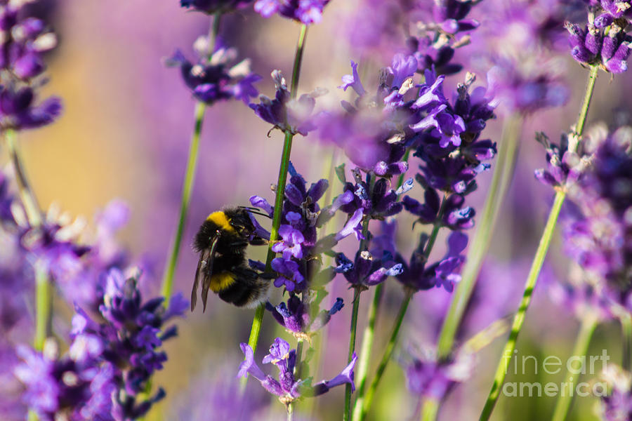 Bee on Lavender by Fabrizio Malisan