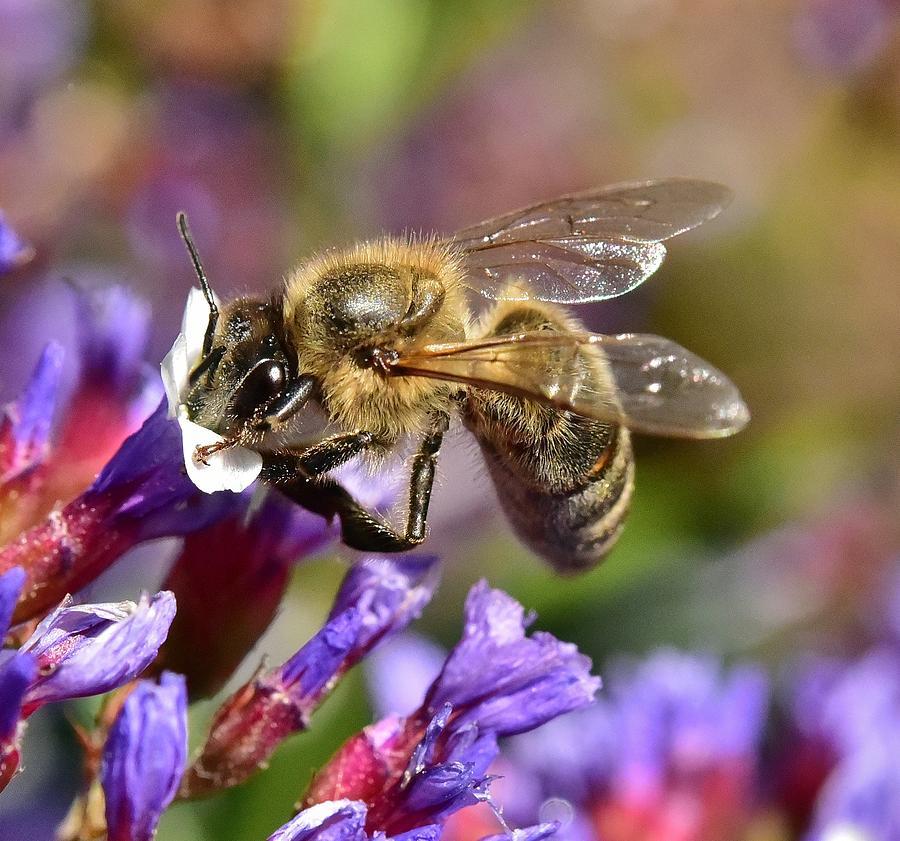 Honey Bee Photograph - Bee On Purple Statice IIi by Linda Brody