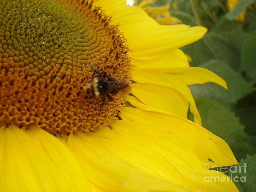 Bee Photograph - Bee On Sunflower 3 by Chandelle Hazen