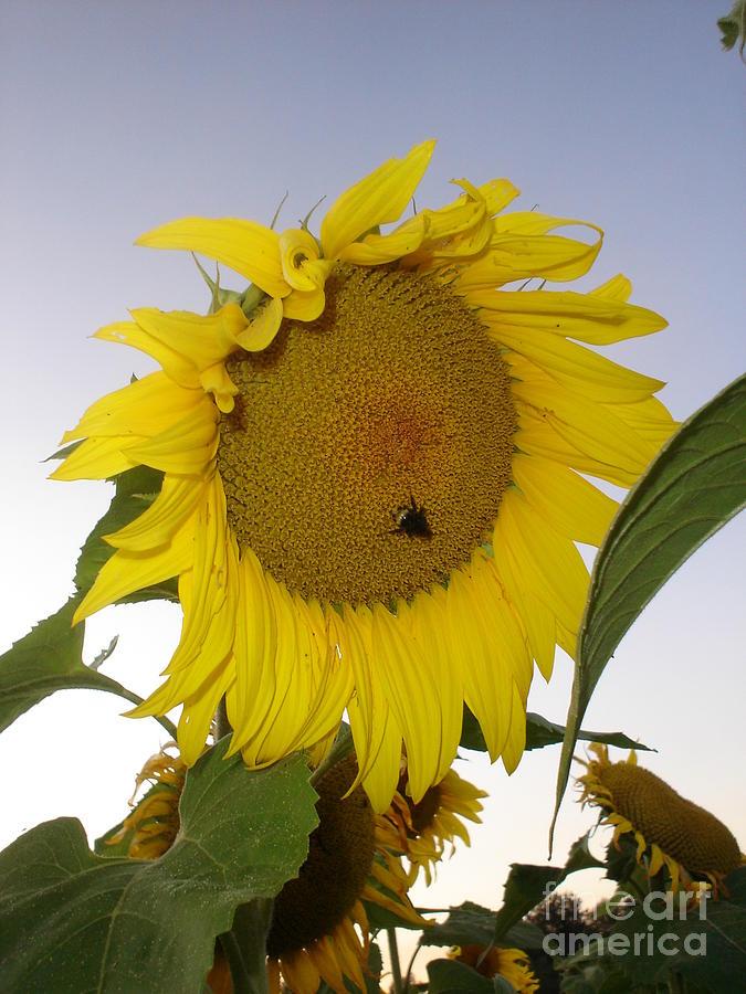 Bee Photograph - Bee On Sunflower 5 by Chandelle Hazen