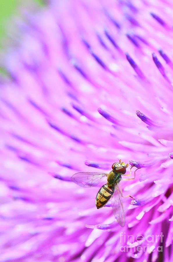 Sweat Bee on Thistle by Katie Joya