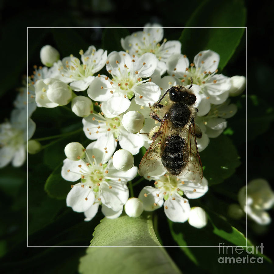 Bee Photograph - Bee On White Flowers 2 by Jean Bernard Roussilhe