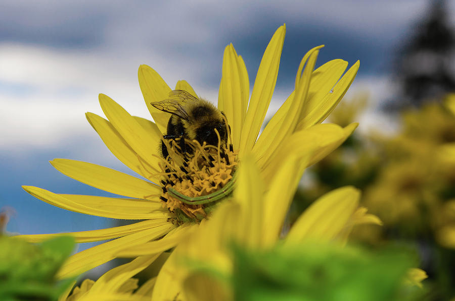 Bee on yellow flower photograph by roy boyce bee photograph bee on yellow flower by roy boyce mightylinksfo
