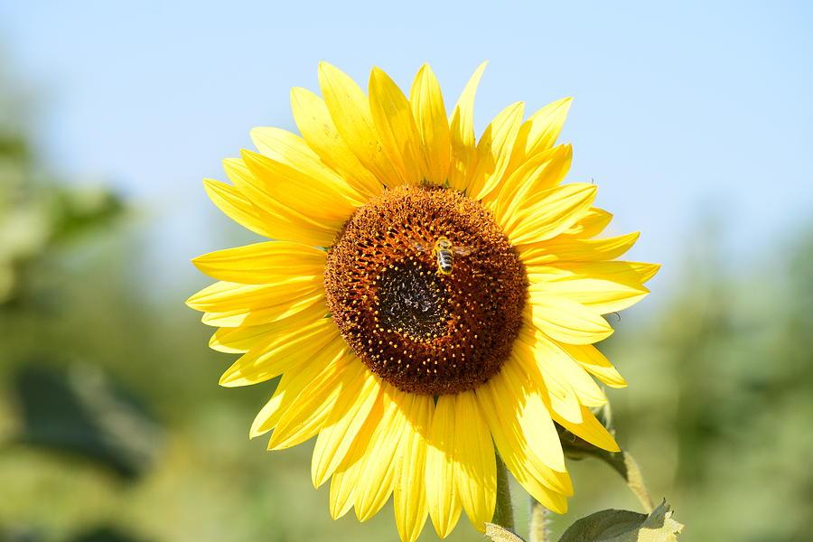 Sunflower Photograph - Bee On Yellow Sunflower by Miomir Magdevski