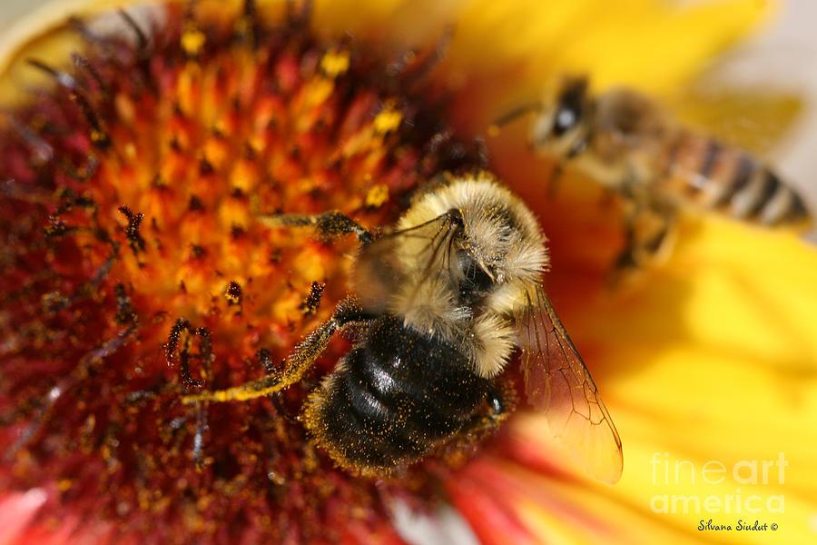 Bee Photograph - Bee One by Silvana Siudut