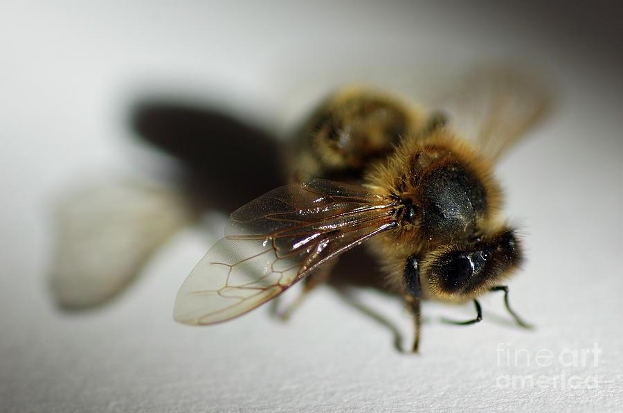 Animal Photograph - Bee Sitting On A White Sheet by Sami Sarkis