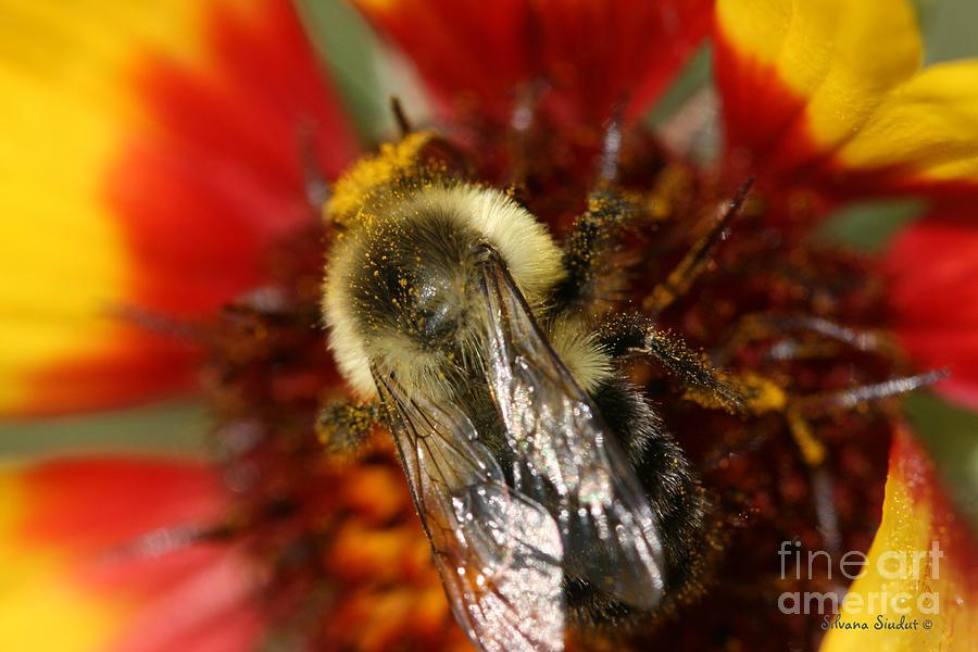 Bee Photograph - Bee Six - by Silvana Siudut