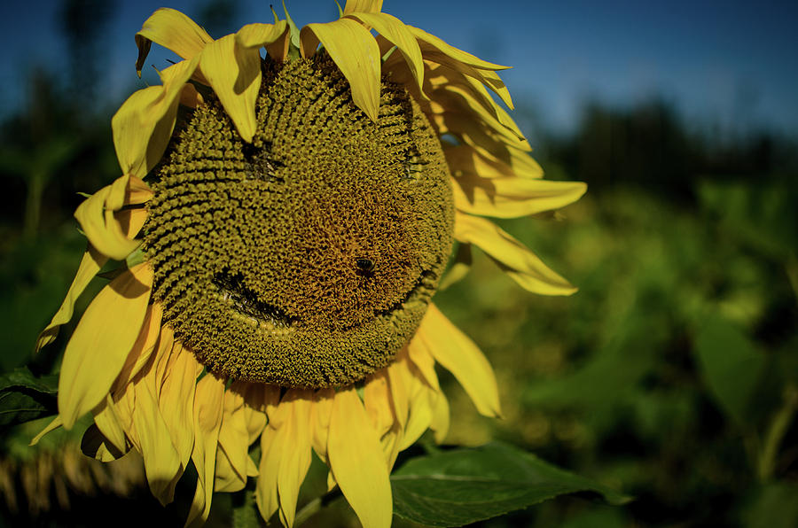 Sunflower Photograph - Bee Smiling Sunflowers by Miguel Winterpacht