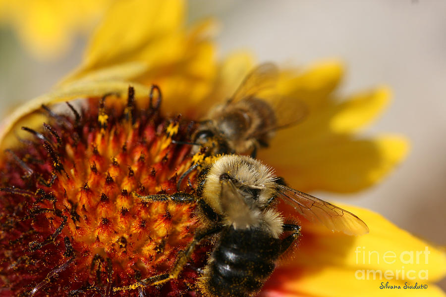 Bee Photograph - Bee Two by Silvana Siudut