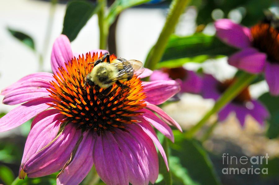 Bee Photograph - Bee-utiful by Maureen Norcross