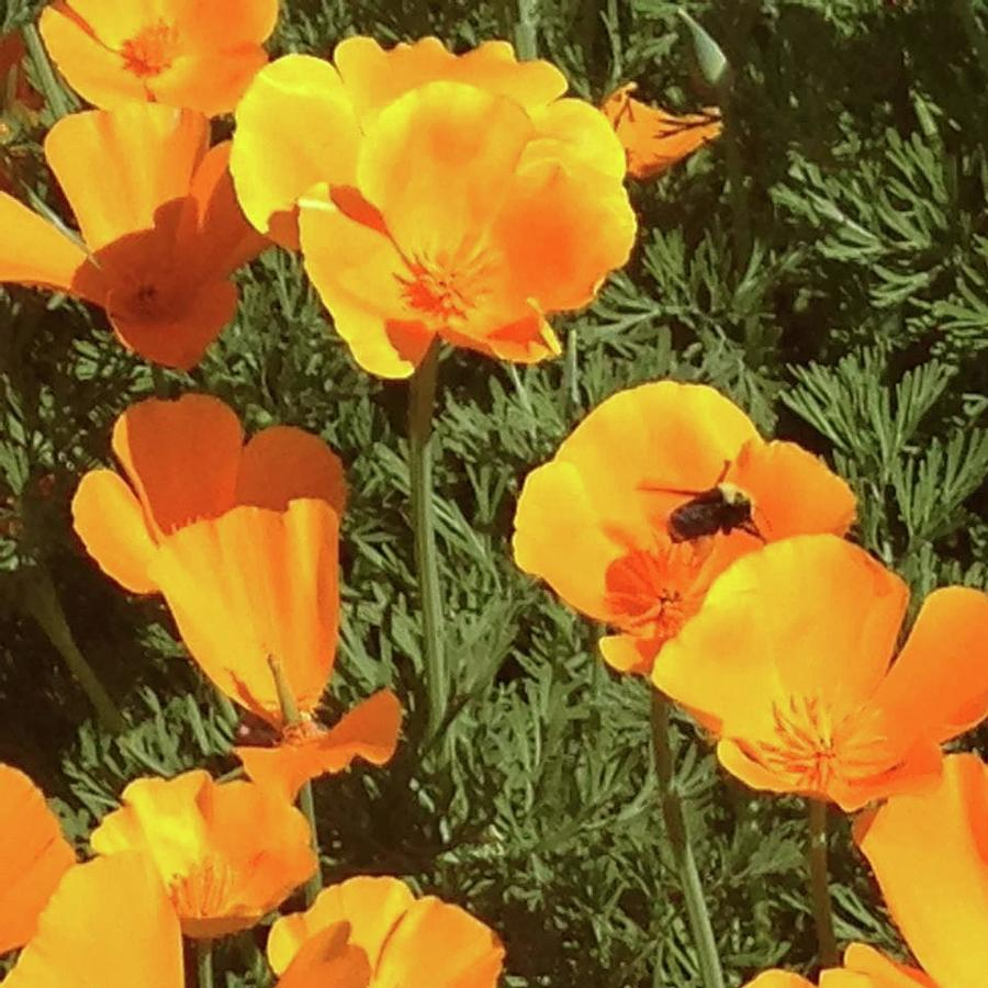 Bee visits Poppies  by Carolyn Donnell