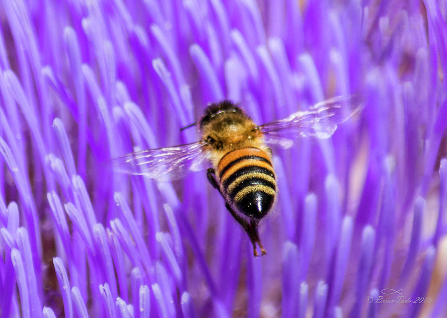 Bee with Artichoke Bloom by Brian Tada