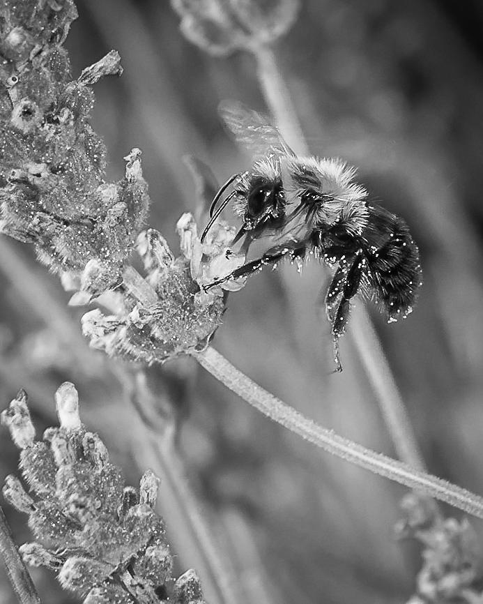 bee works lavender by Len Romanick