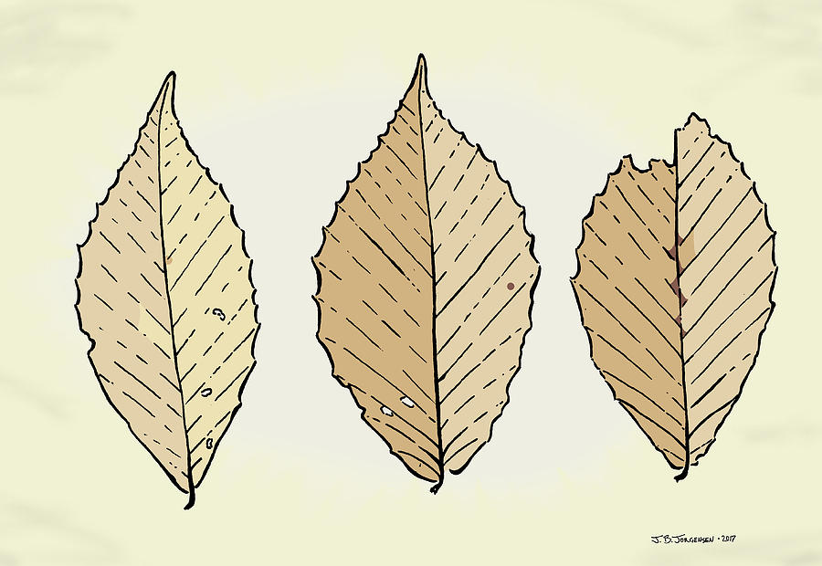 Leaf Drawing - Beech Leaf Illustration by Jamie Jorgensen