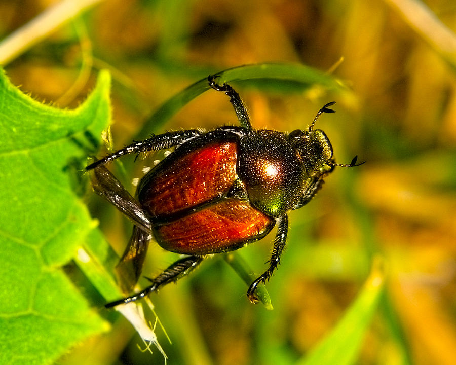 Insects Photograph - Beetle Take-off by Pradeep Bangalore