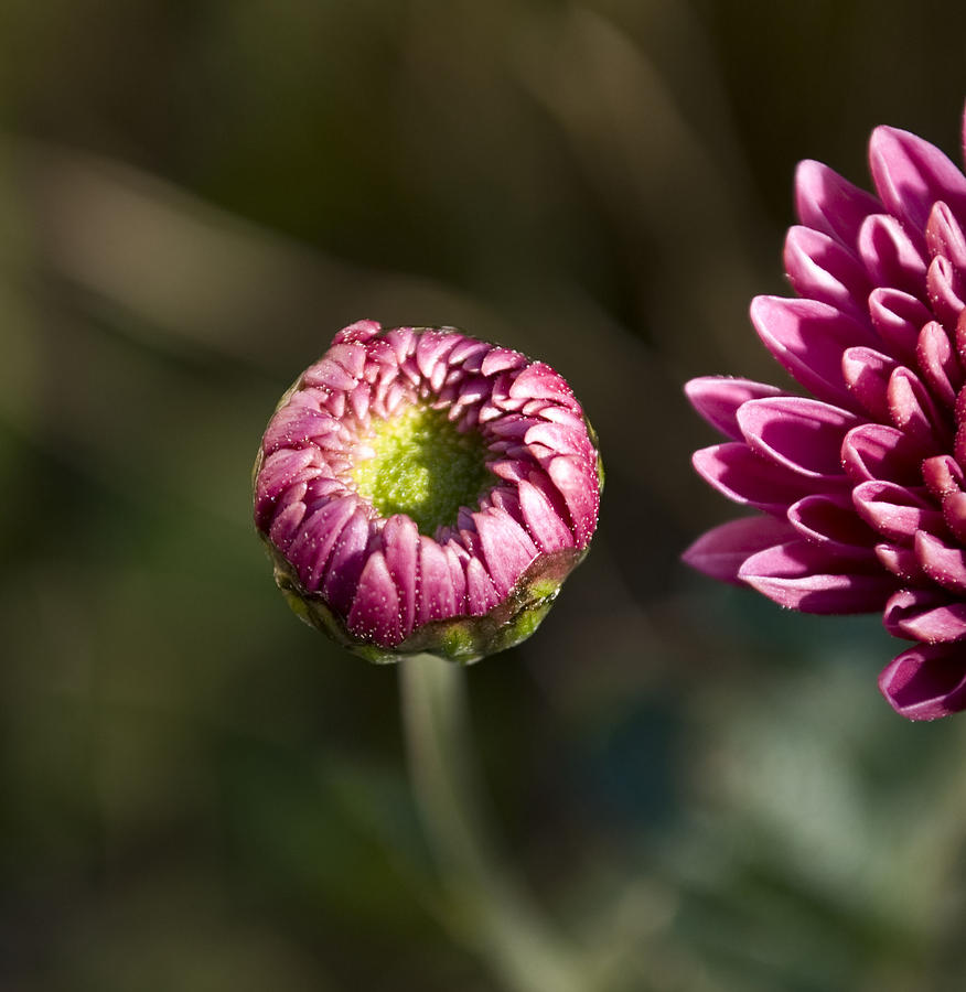 Chrysanthemum Photograph - Beginning by Svetlana Sewell
