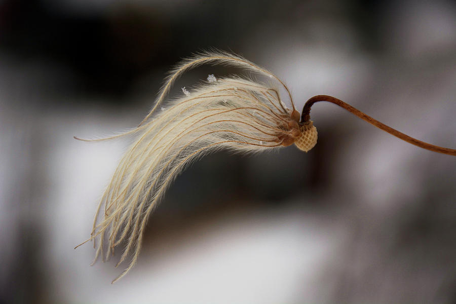 Clematis Photograph - Beginnings by Ellery Russell